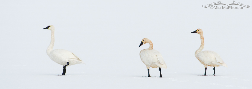 White on White - Tundra Swan Delight