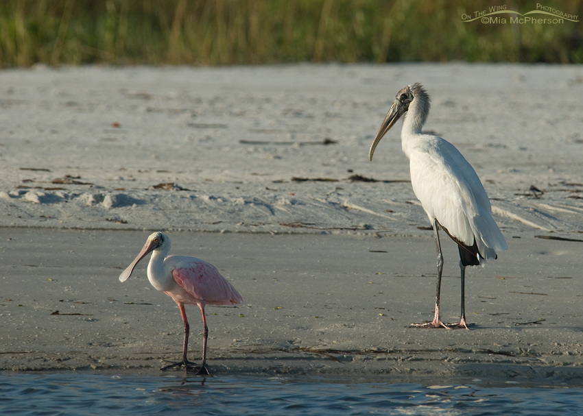 Wood Stork and Roseate Spoonbill size comparison
