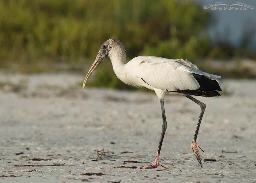 Wood Stork walking near a lagoon