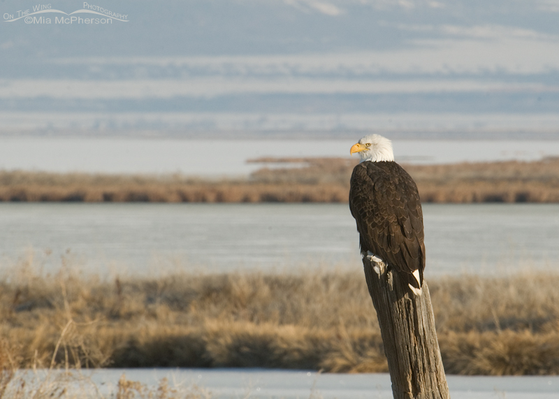 Adult Bald Eagle at Bear River National Wildlife Refuge