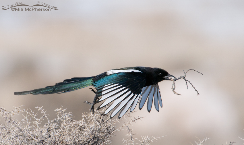 Black-billed Magpie lifting off from a bush with a twig