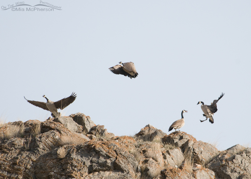 Squawking & flying Canada Geese on top of a cliff
