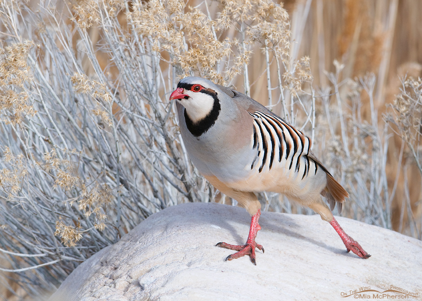 Chukar stretching