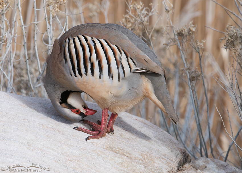 Upside down Chukar