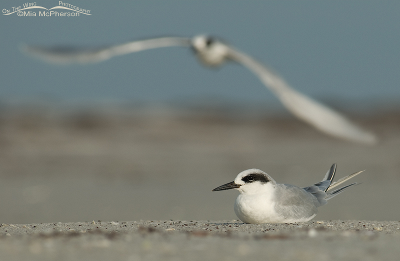 Forster's Tern and friend