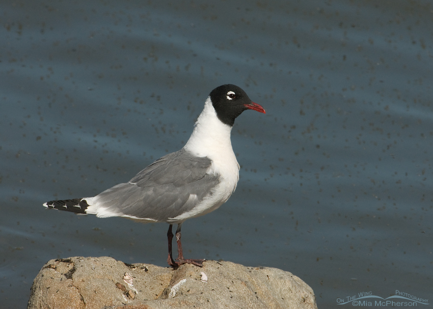 Franklin's Gull with Brine Flies