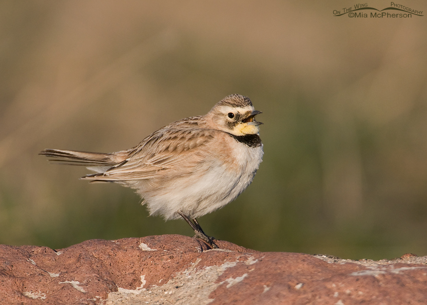 Female Horned Lark singing