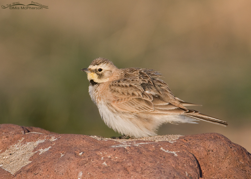 Fluffed up female Horned Lark