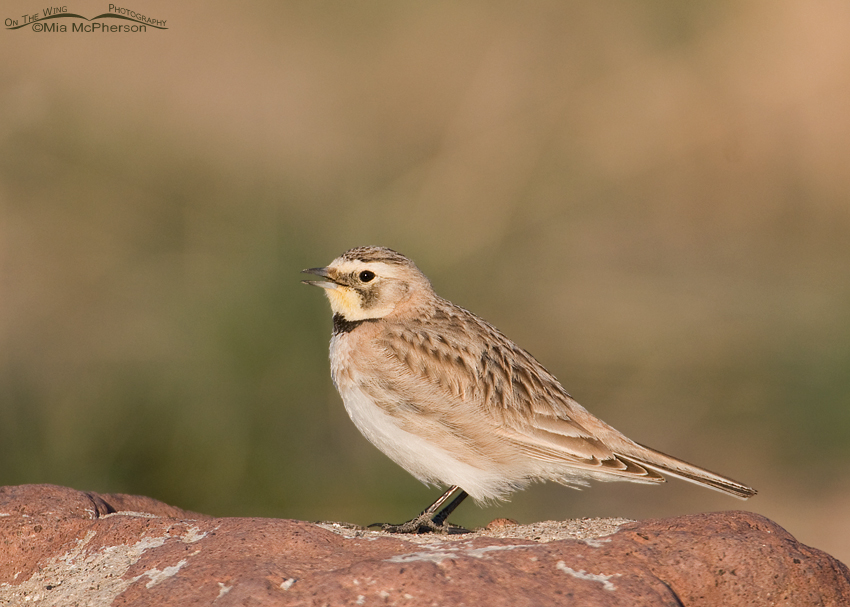 Calling Horned Lark female