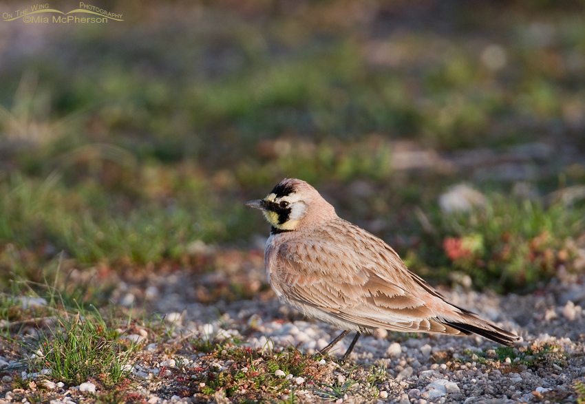 Horned Lark in early spring