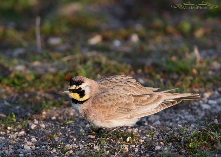 Horned Lark fluffing in early morning light