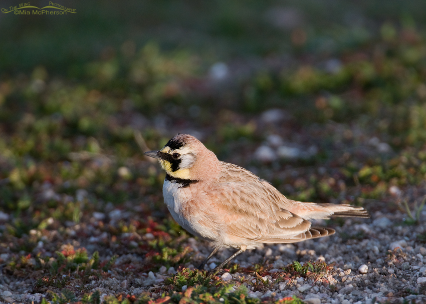A male Horned Lark in early spring