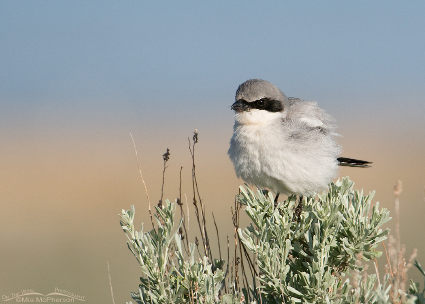 Fluffed up Loggerhead Shrike