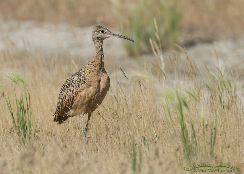 Long-billed Curlew chick