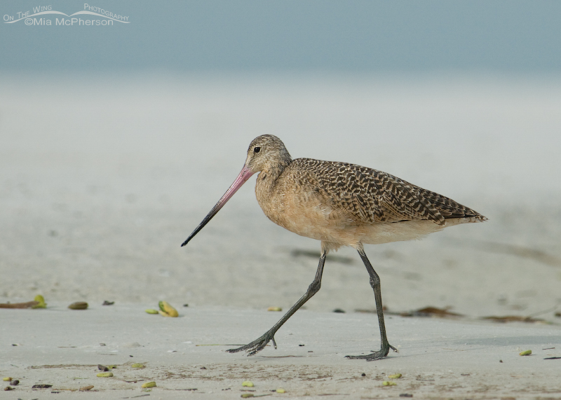 Marbled Godwit walking on the beach