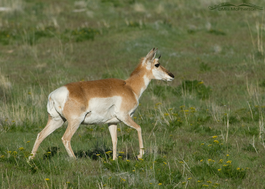 Pronghorn doe walking through spring grasses