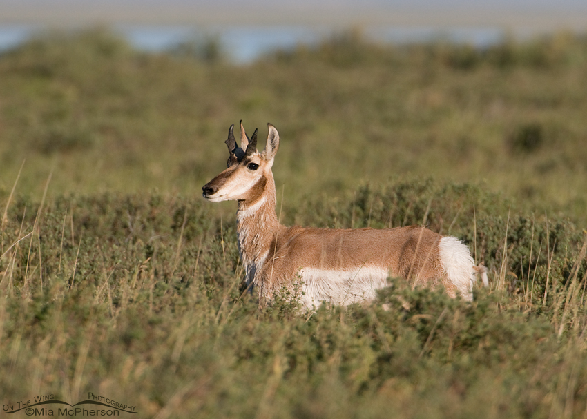 Pronghorn buck at Red Rock Lakes National Wildlife Refuge