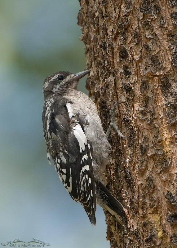Juvenile Red-naped Sapsucker