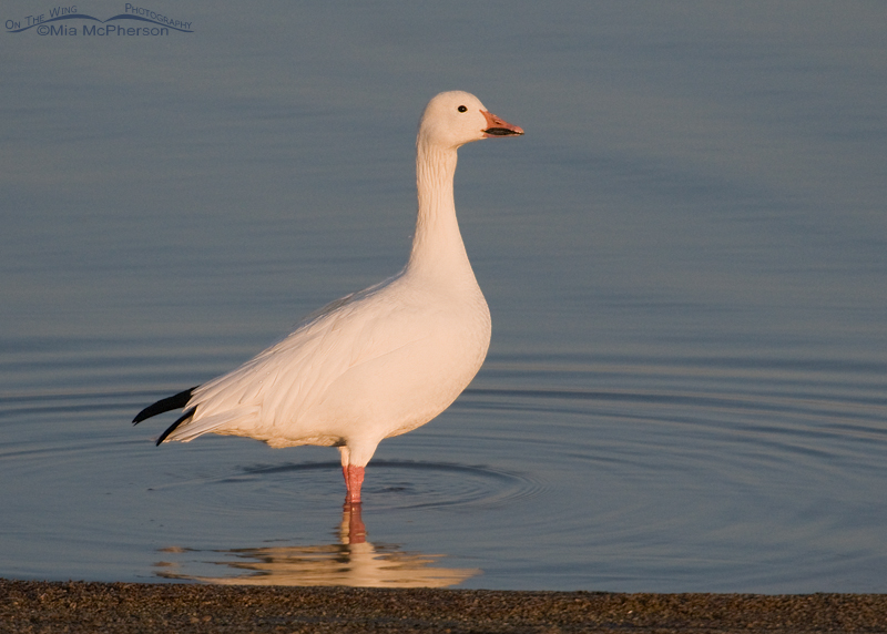 Adult Snow Goose in the Great Salt Lake