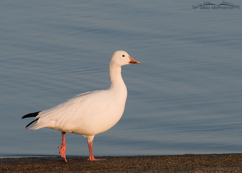 Adult Snow Goose walking the shoreline of the Great Salt Lake