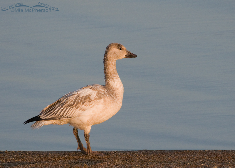 Juvenile Snow Goose on the shore of the Great Salt Lake