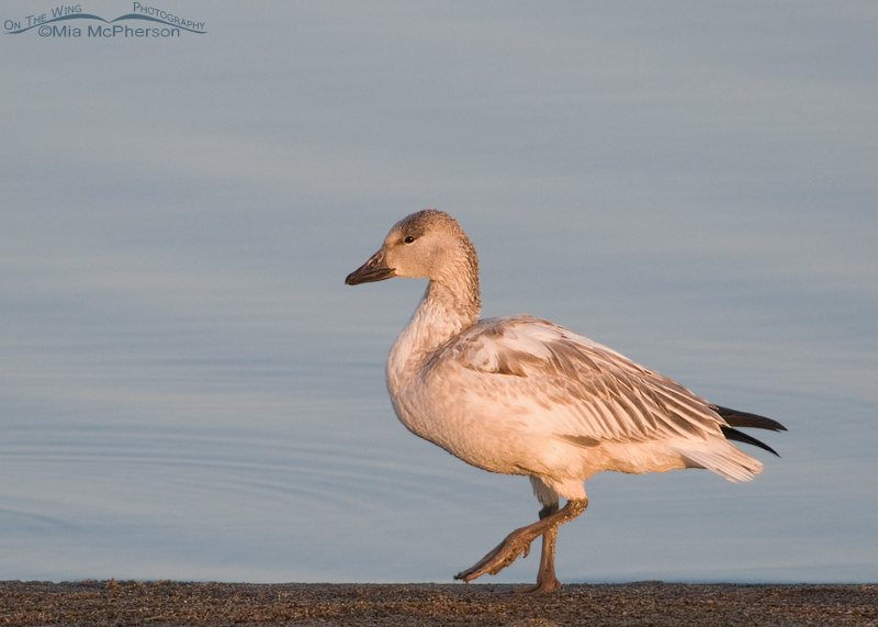 Young Snow Goose walking the shoreline of the Great Salt Lake