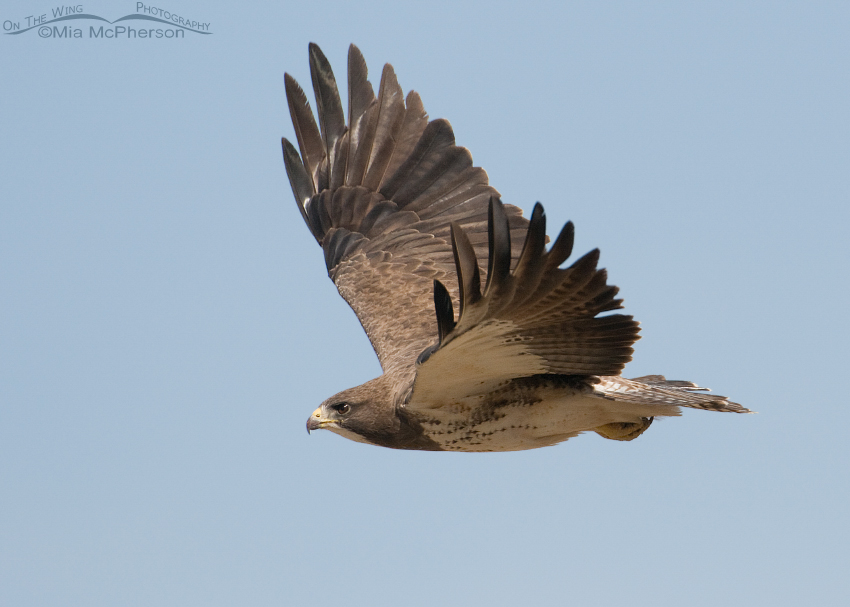 Adult Swainson's Hawk