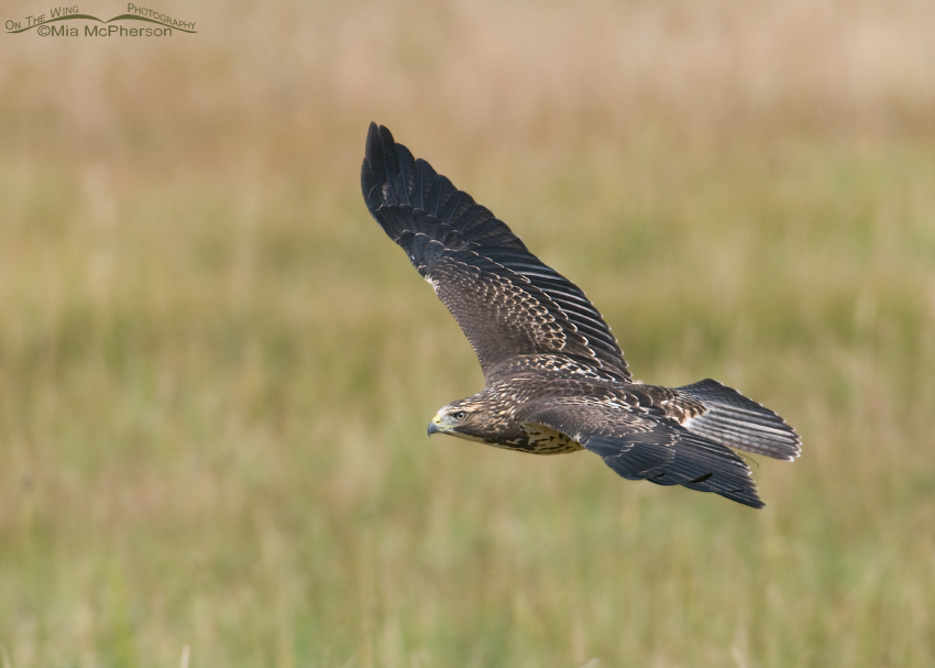 Juvenile Swainson's Hawk in flight