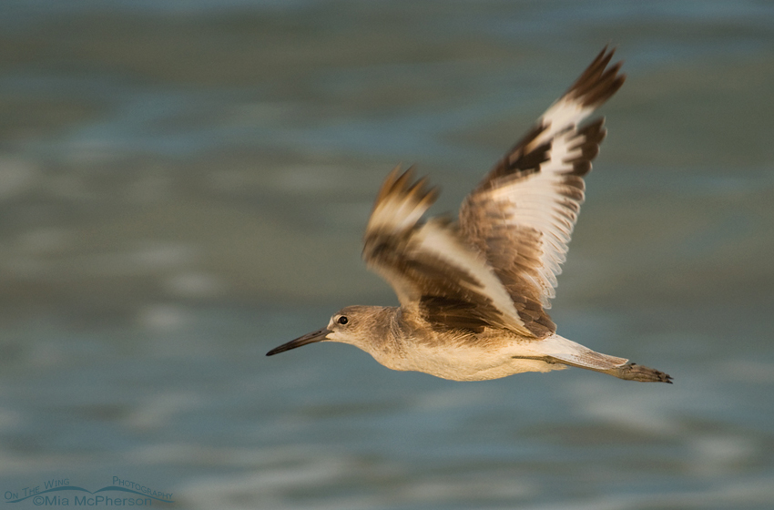 Willet in flight at first light