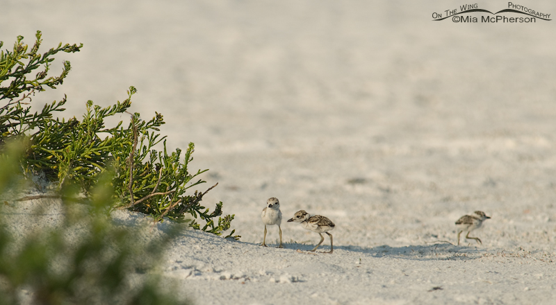 Three Wilson's Plover chicks near some Sea Purslane