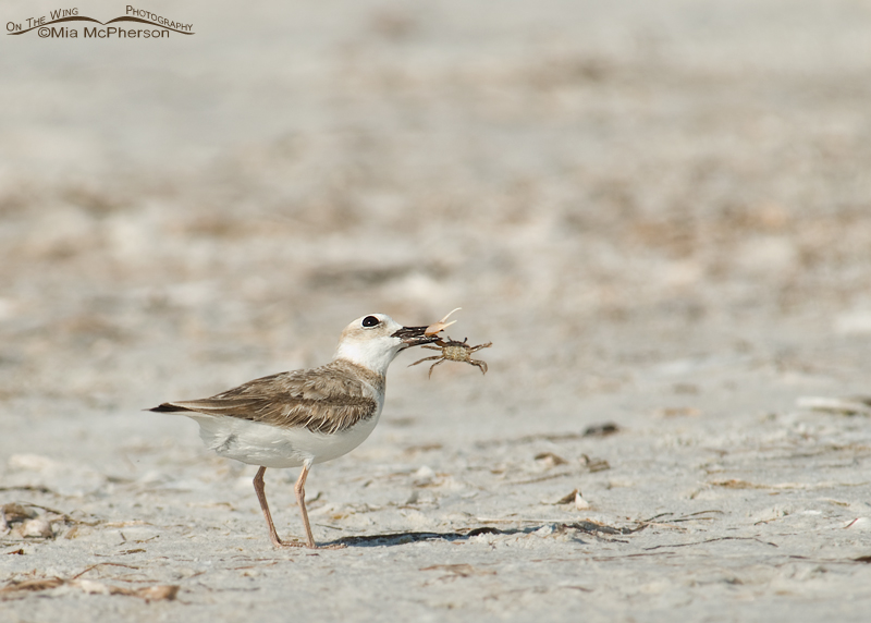Wilson's Plover juvenile with a Fiddler Crab