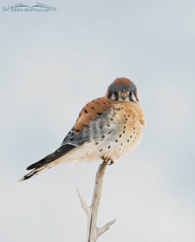 Male American Kestrel in low light
