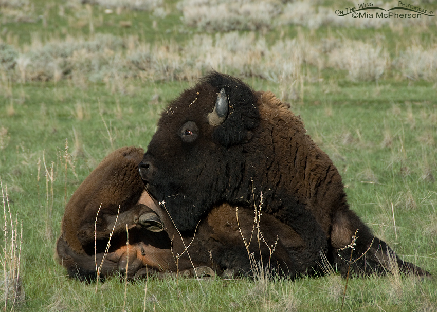 Scratching Bison bull