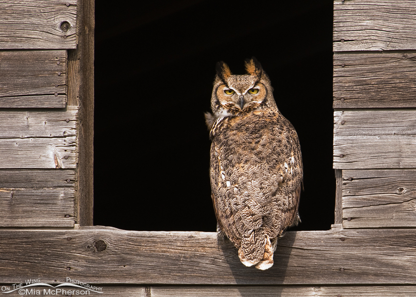 Great Horned Owl female in a granary window