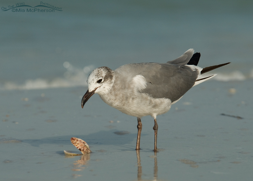 Nonbreeding Laughing Gull with a Calico Shell