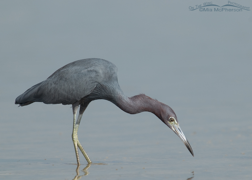 Little Blue Heron stalking prey in a tidal lagoon