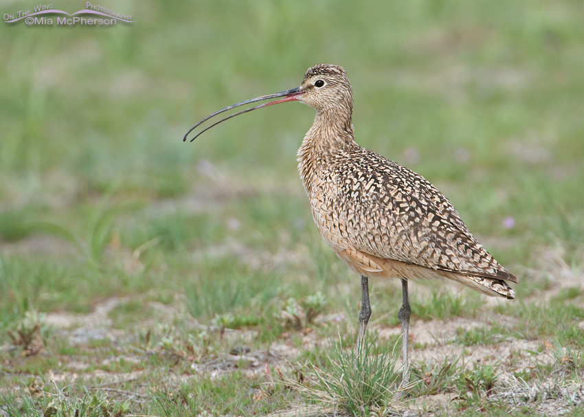 Male Long-billed Curlew calling
