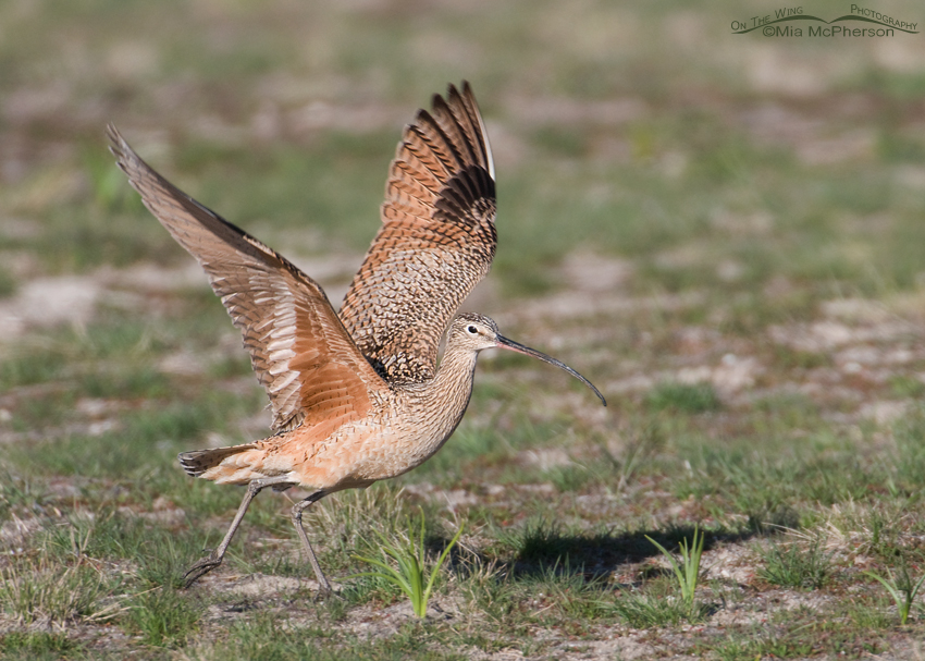 Male Long-billed Curlew lifting off