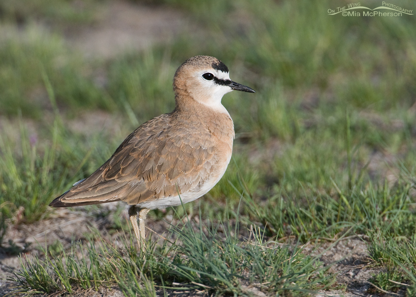 Mountain Plover right side profile