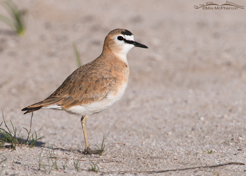 Mountain Plover standing on a sandy road