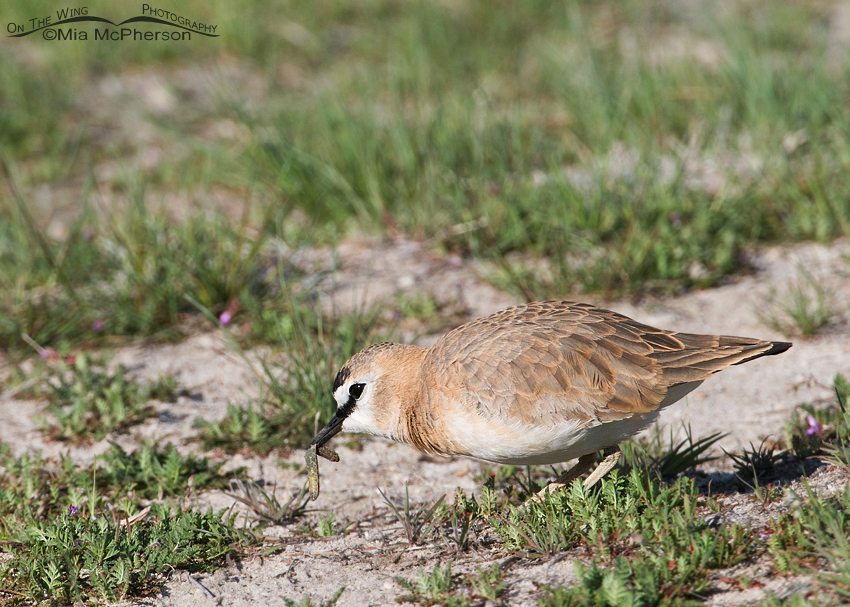 Mountain Plover with prey