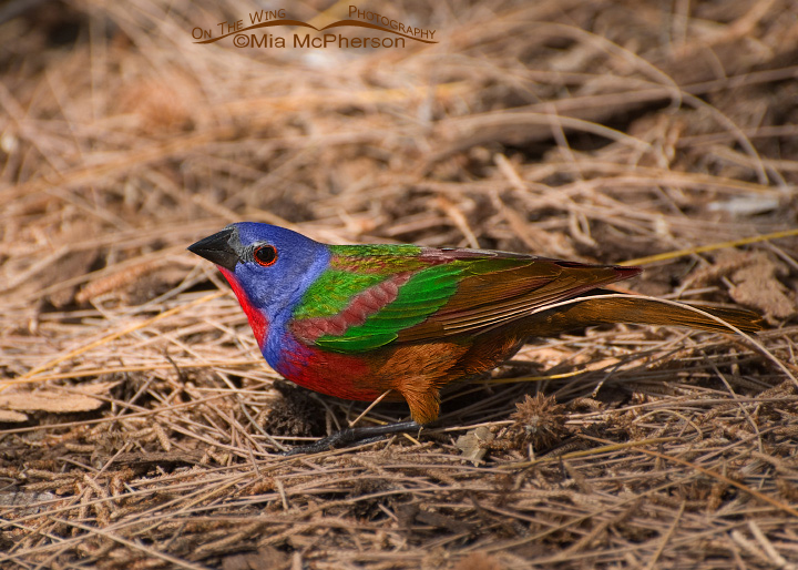 The World's first Painted Bunting x Brown Cowbird Hybrid