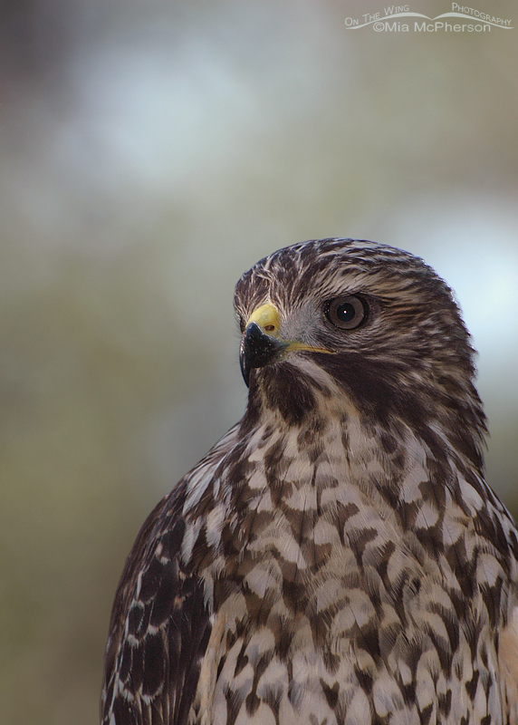 Portrait of a juvenile Red-shouldered Hawk