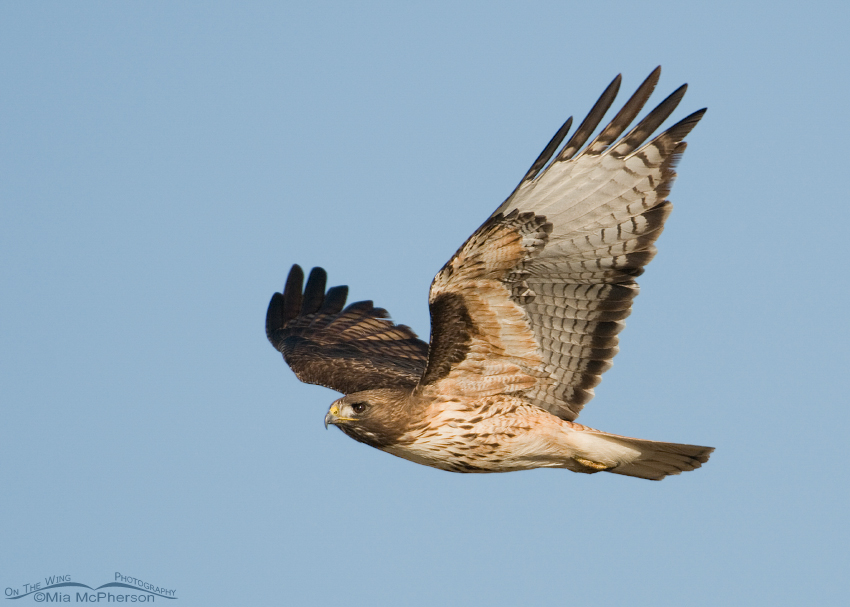 Red-tailed Hawk adult flying by