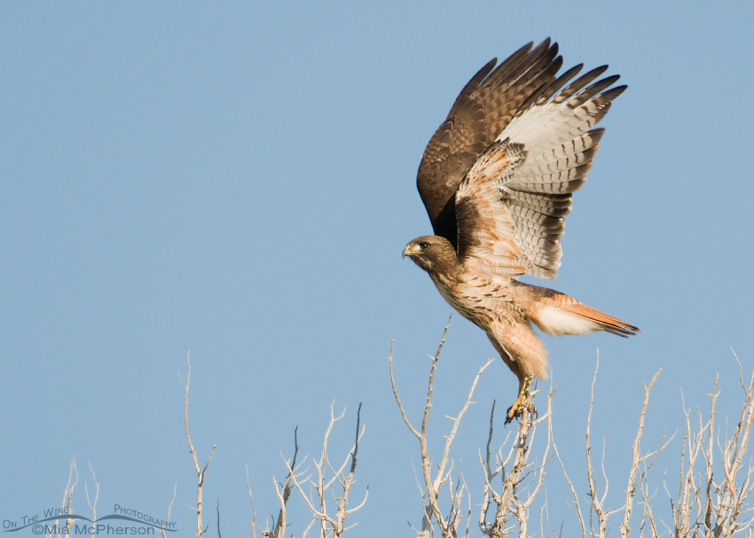 Adult Red-tail lifting off