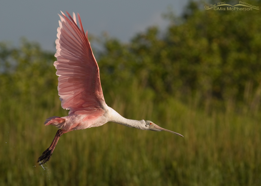 Roseate Spoonbill fly by