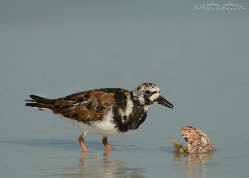 Ruddy Turnstone with a Calico shell