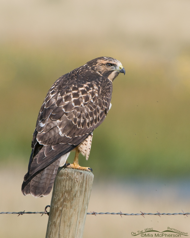 Juvenile Swainson's Hawk in the Centennial Valley