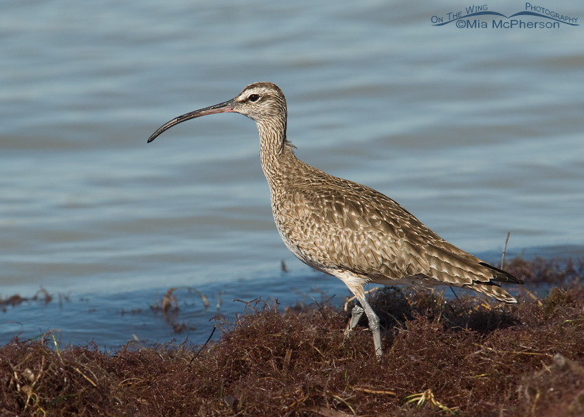 Whimbrel on a floating mat of seaweed