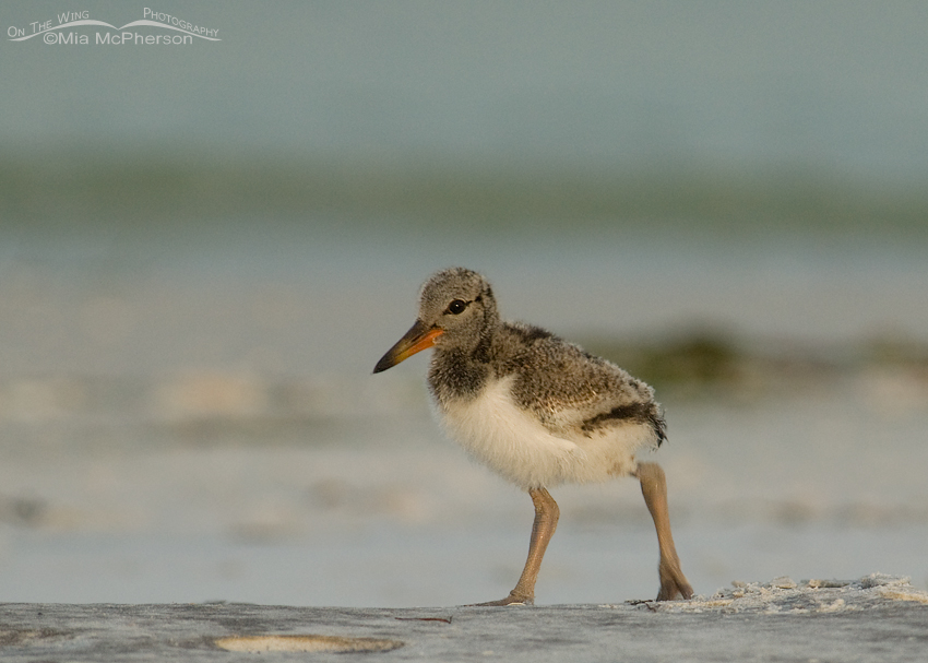 Tiny American Oystercatcher chick